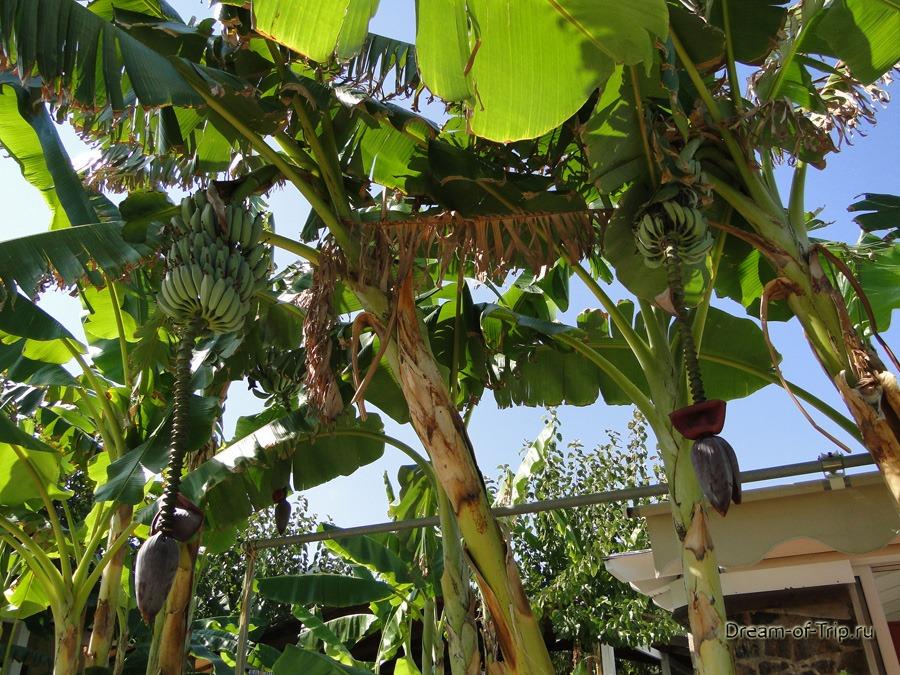 Бананы в Бали на Крите.