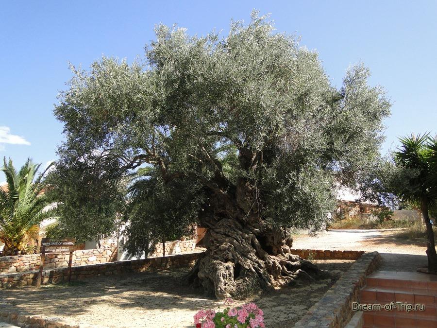 Самое старое оливковое дерево на Крите.