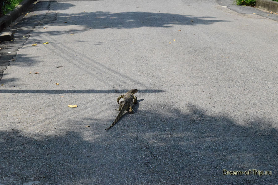 Вараны в Люмпини гуляют по дороге