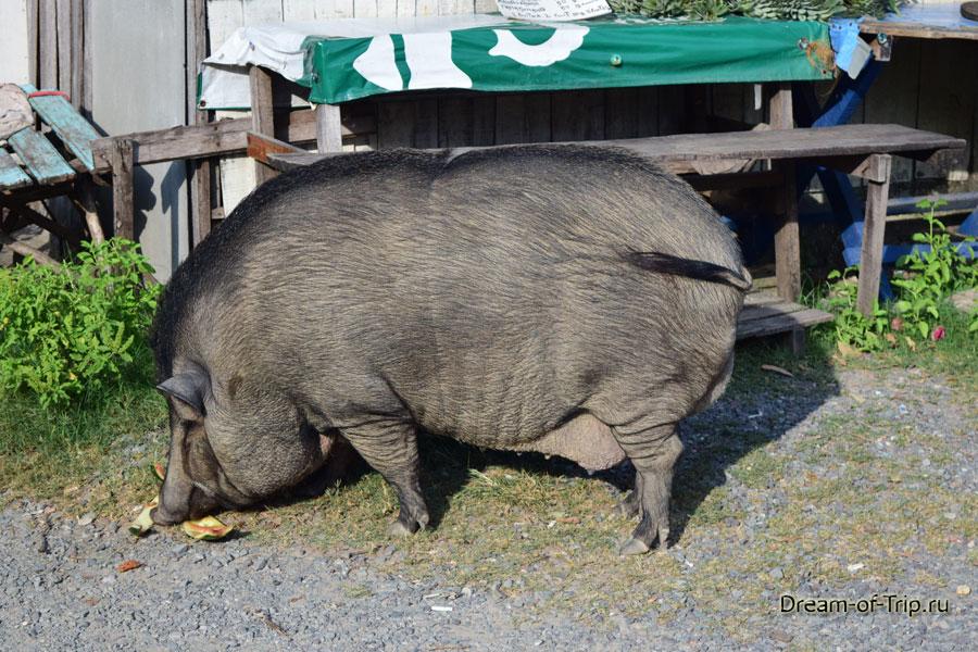 Тайская свинья.