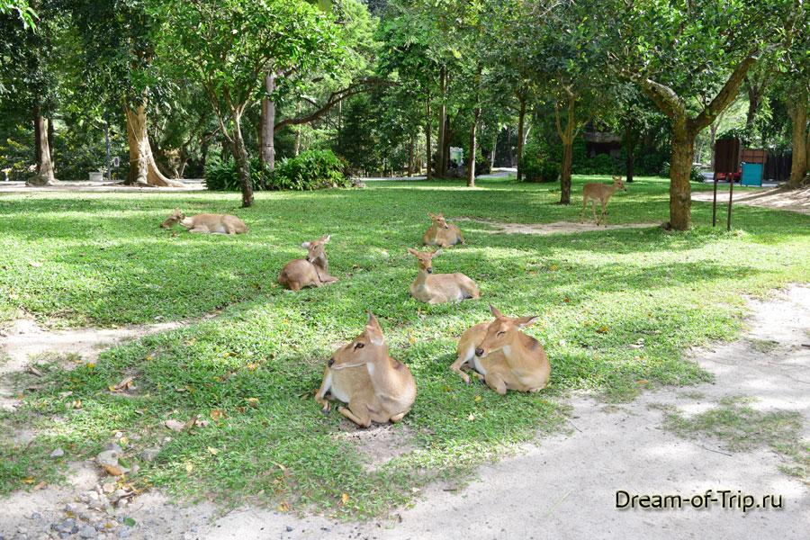 Антилопы в Кхао Кхео.
