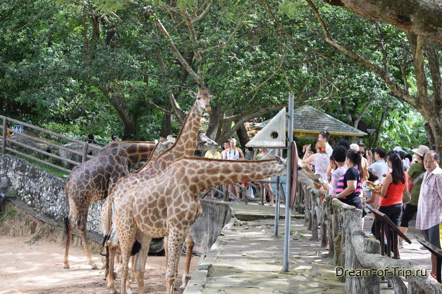 Жирафы - всеобщие любимцы.