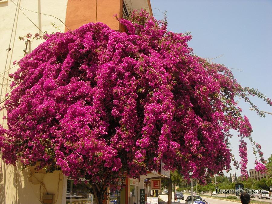 цветущее дерево в Кемере.