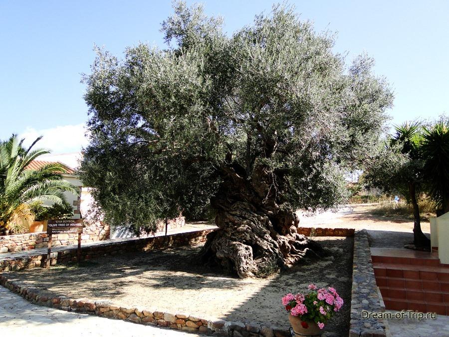 Самое старое оливковое дерево.