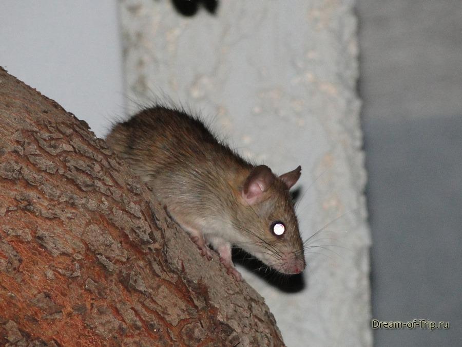 Живность на Крите. Крыса.