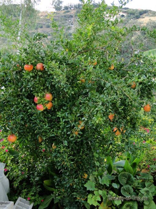 Гранатовое дерево на Крите
