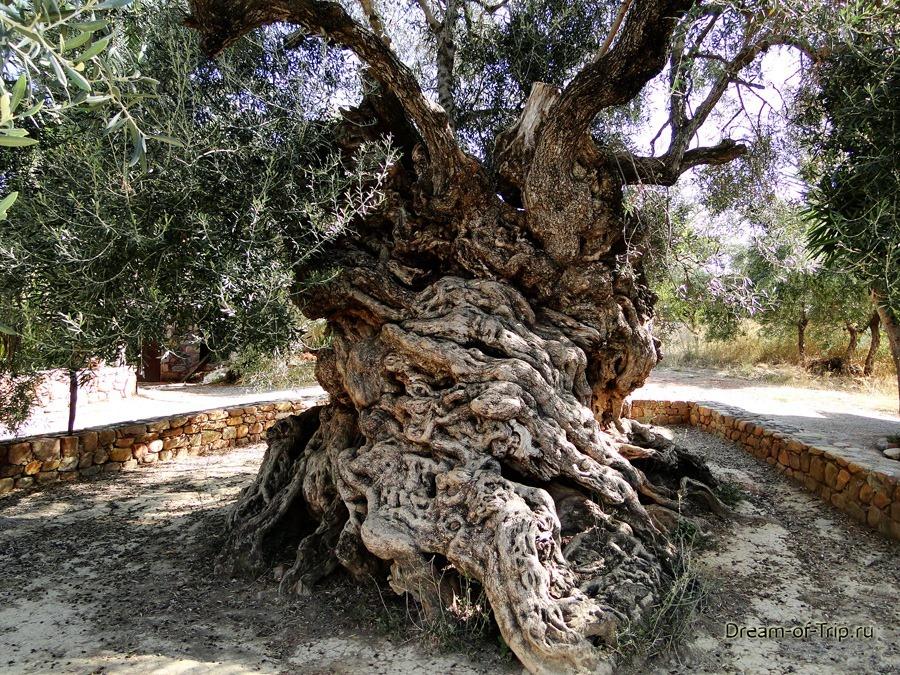 Самое старое оливковое дерево на Крите.  Ствол.