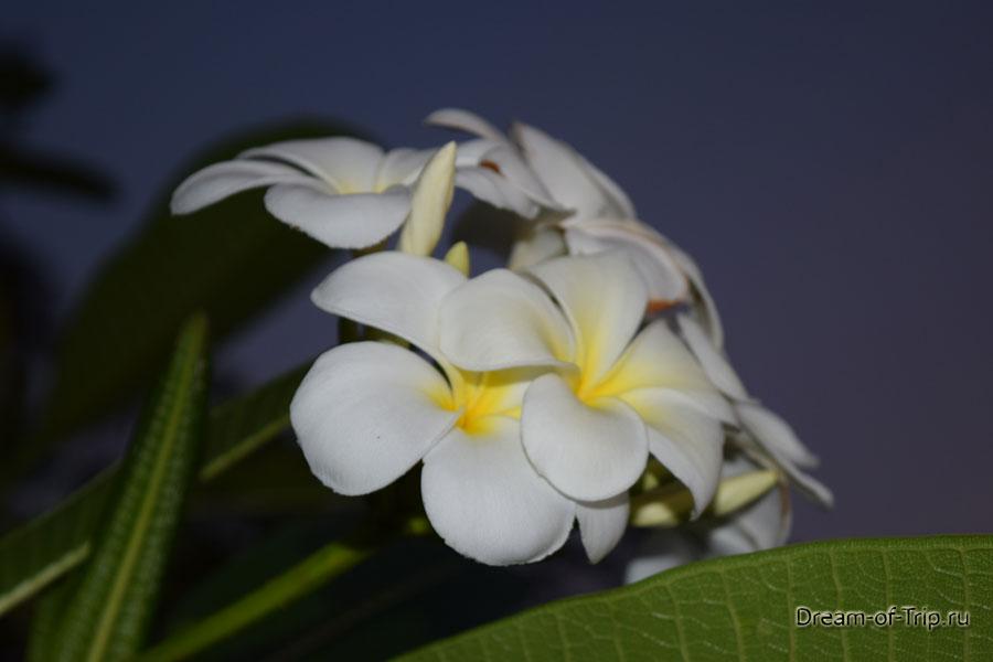 Плюмерия в Тайланде