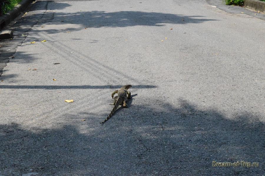 Варан гуляет по асфальту в Бангкоке