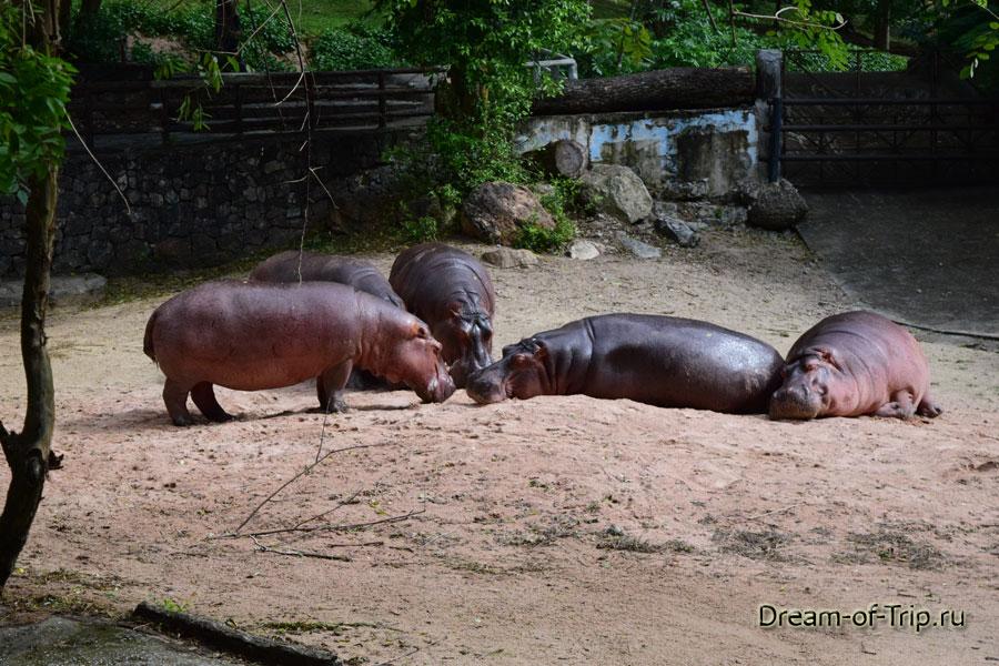 Бегемоты в Кхао Кхео.